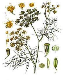 Fennel plant botanical