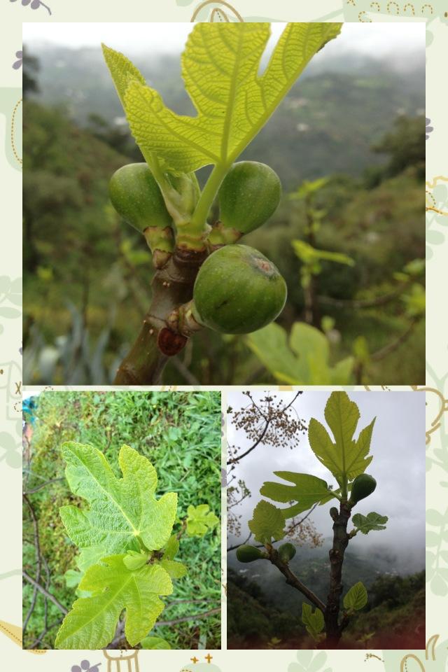 Brevas first crop figs.