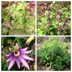 Herbs & flowers at La Rosilla