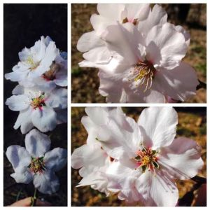 Mountain Almond Blossom