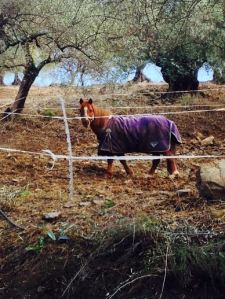 Tikka the pony at La Rosilla