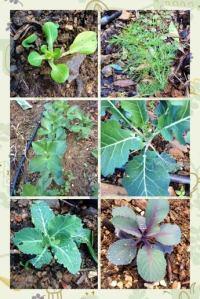 Vegetable planting at La Rosilla