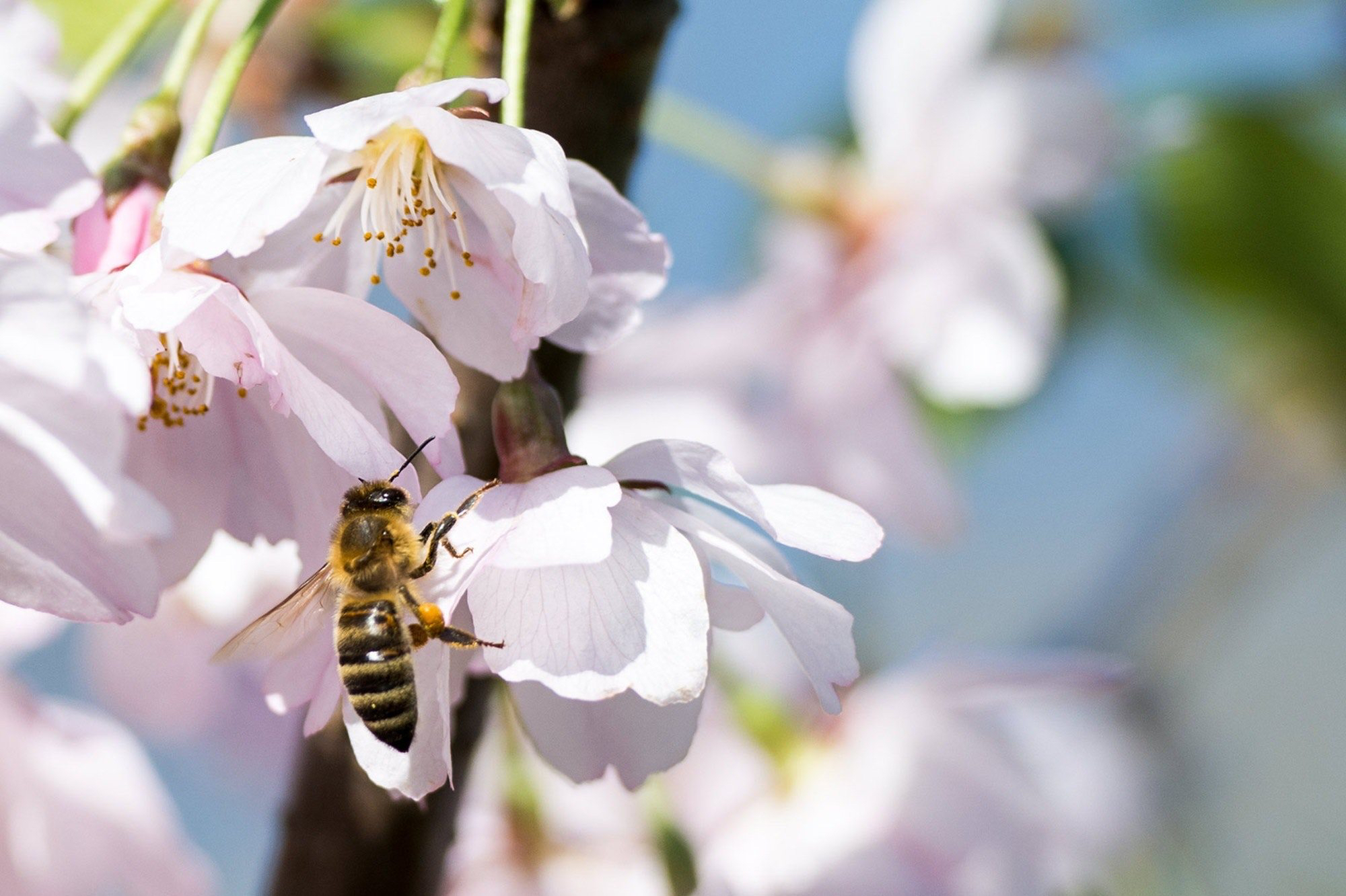 bee-bloom-blossom-266648